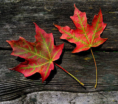 Photograph - Maple Leaves by Jamieson Brown