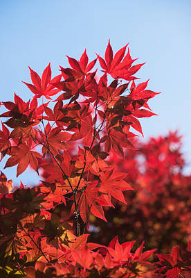 Photograph - Maple Leaves by Parker Cunningham