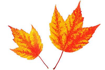 Painting - Maple Leaves by Paul Ge