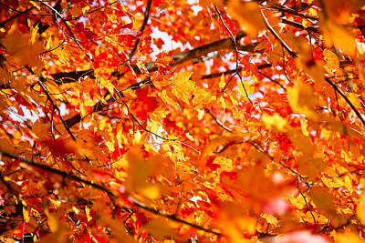 Photograph - Maple Leaves by Robert Clifford