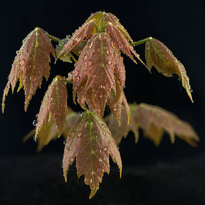 Maple Leaf Art Photograph - Maple Leaves With Water Drops by Paul Freidlund