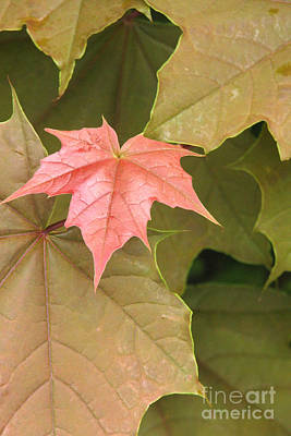 Photograph - Maple Newborn by Frank Townsley