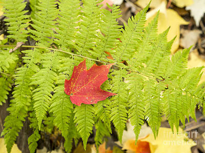 Photograph - Maple On Fern by Steven Ralser
