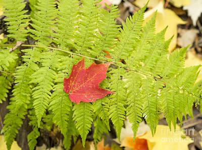Photograph - Maple On Fern by Steven Ralser