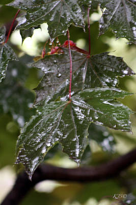 Photograph - Maple Rain by Kathy J Snow