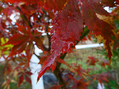 Photograph - Maple Red by Jacqueline  DiAnne Wasson