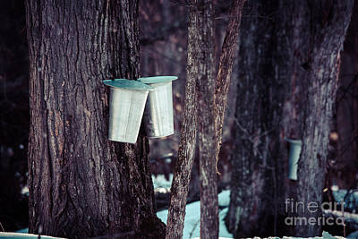 Sugaring Season Photograph - Maple Sap by Cheryl Baxter