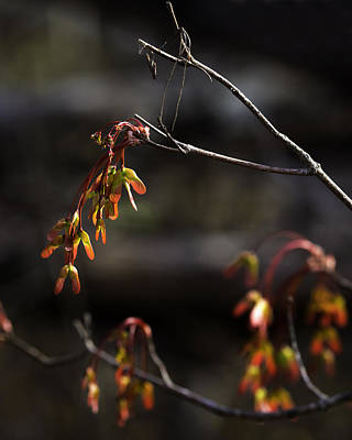 Photograph - Maple Seeds At Sunrise by Michael Dougherty