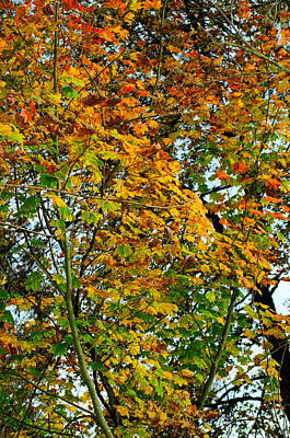 Photograph - Maple Tree Autumn by Tikvah's Hope
