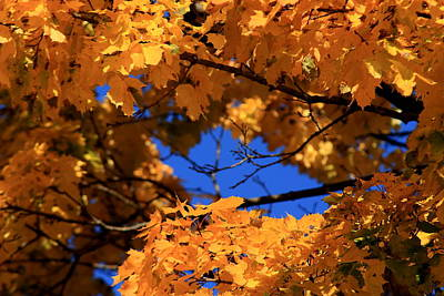 Photograph - Maple Tree In Autumn by David Dufresne