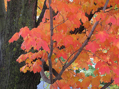 Maple Tree  Art Print by Lyle Crump