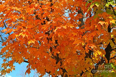 Photograph - Maple Tree by Pamela Walrath