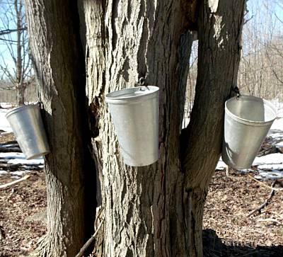 Maple Tree Sap Pails  Art Print