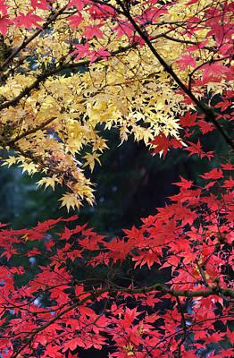 Sutton Photograph - Maple Trees In Autumn Color, Portland by William Sutton