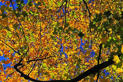 Photograph - Maple View by Gary Kaylor
