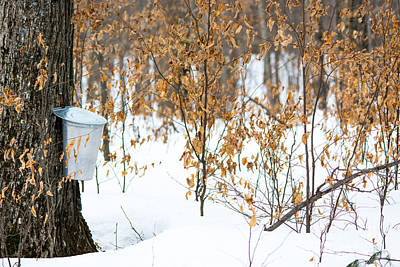 Sugaring Season Photograph - Maple Woods by Cheryl Baxter