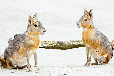 Cavy Photograph - Mara Rodent Animals by Pati Photography