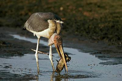 Stork Wall Art - Photograph - Marabou Stork by Dr P. Marazzi/science Photo Library