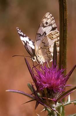 Marble White Melanargia Titea Titania Print by Photostock-israel