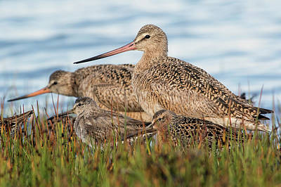 Marbled Godwit And Long-billed Dowitcher Art Print