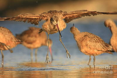 Marbled Godwit  Art Print