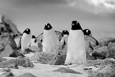 March Of Gentoo Penguins Pygoscelis Papua At Neko Harbour Continent Of Antarctica Art Print