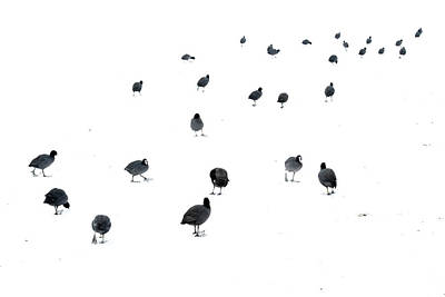Coot Wall Art - Photograph - March Of The Coots by Andrew George