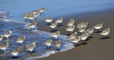 March Of The Sandpipers Art Print