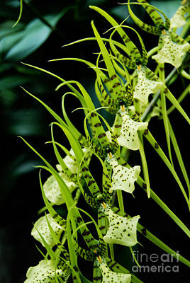 Art Print featuring the photograph Marching Orchids by Eva Kaufman