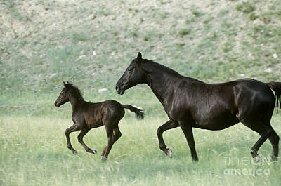 Morgan Horse Photograph - Mare And Foal by Alan and Sandy Carey and Photo Researchers
