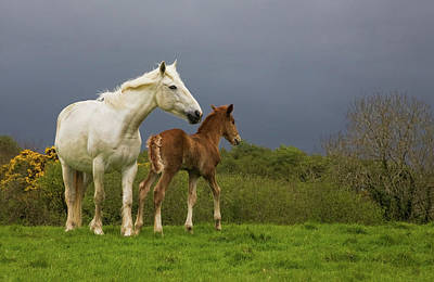 Animal Behaviour Wall Art - Photograph - Mare And Foal, Co Derry, Ireland by Animal Images