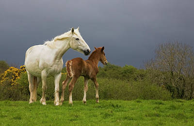 Bonding Photograph - Mare And Foal, Co Derry, Ireland by Panoramic Images