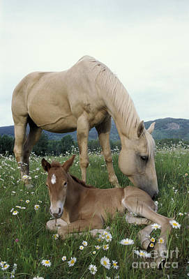 Photograph - Mare And Foal by Rolf Kopfle