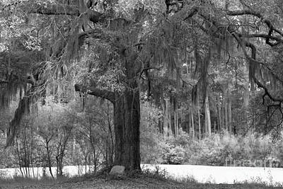 Photograph - Margaret Morrison Meyer Black And White Memorial Oak Tree by Adam Jewell