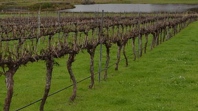 Photograph - Margaret River  Vineyard 2.1 by Cheryl Miller