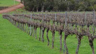 Photograph - Margaret River Vineyard 2.3 by Cheryl Miller