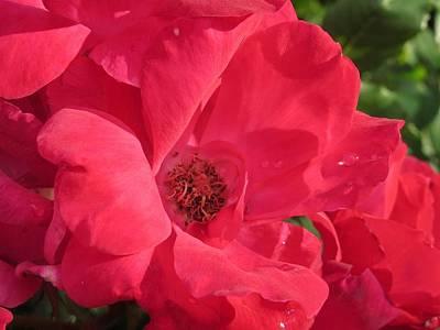 Photograph - Margaret's Rose by Denise   Hoff