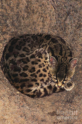 Margay Cat Photograph - Margay by Art Wolfe