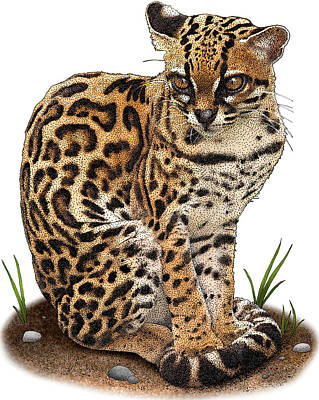 Margay Cat Photograph - Margay, Leopardus Wiedii, Illustration by Roger Hall