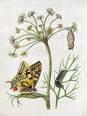 Painter Photograph - Maria Sybella Merian 1683 Metamorphosis by Paul D Stewart