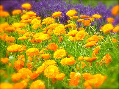 Marigolds And Lavender Art Print