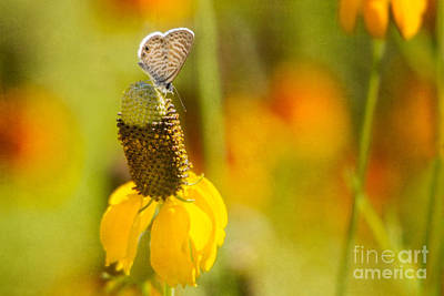 Photograph - Marine Blue Butterfly by Marianne Jensen