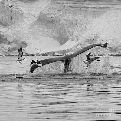 Flying Whale Photograph - Marine Excitement... by Nina Stavlund