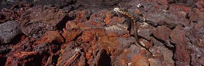 Galapagos Photograph - Marine Iguana Amblyrhynchus Cristatus by Panoramic Images