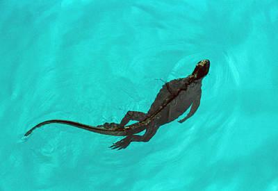 Iguana Wall Art - Photograph - Marine Iguana (amblyrhynchus Cristatus) Swimming by John Beatty/science Photo Library