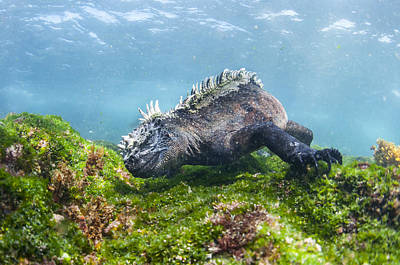 Marine Iguana Feeding On Algae Punta Art Print by Tui De Roy