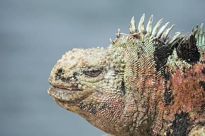 Photograph - Marine Iguana Male In Breeding Colors by Tui De Roy