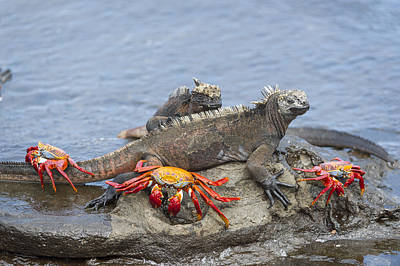 Galapagos Photograph - Marine Iguana Pair And Sally Lightfoot by Tui De Roy