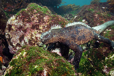 Iguana Wall Art - Photograph - Marine Iguana by Peter Scoones/science Photo Library