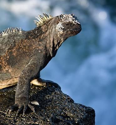 Iguana Wall Art - Photograph - Marine Iguana by Steve Allen/science Photo Library